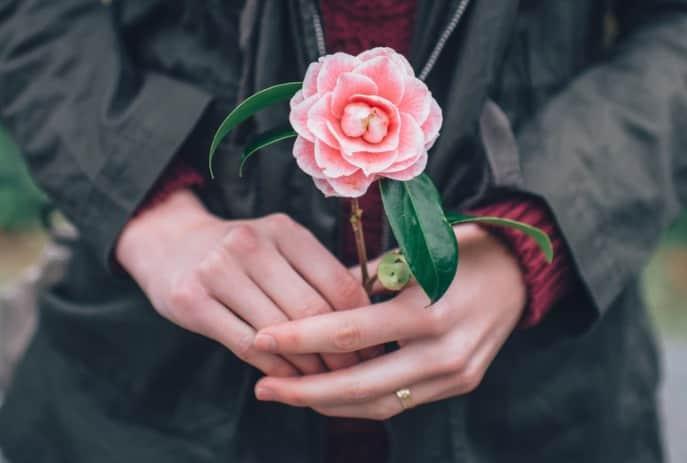 Bouture d'un camélia dans une main
