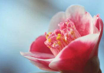 Zoom sur un camélia du japon rose avec extérieur des pétales blanc