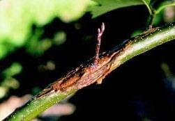 Noircissement des branches de camélias