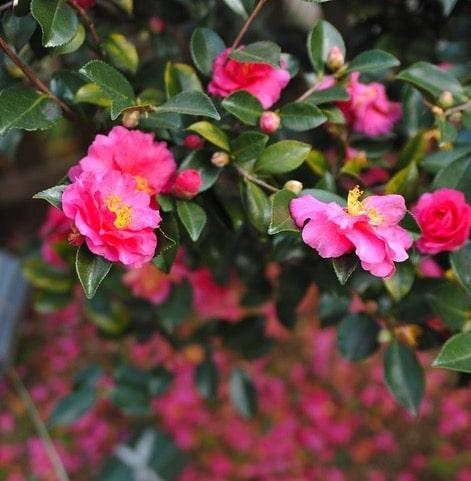 plantation d'un camellia sasanqua