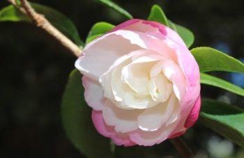 camélia hybride