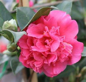 camellia williamsii anticipation