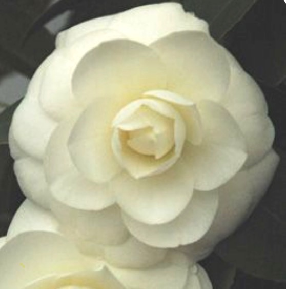 Camélia du Japon 'Alba plena'