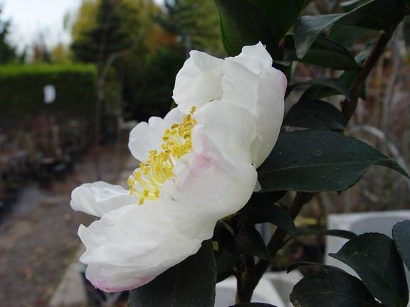 Camellia Sasanqua 'Chantal'