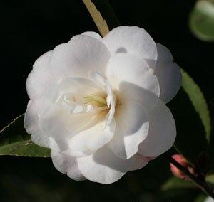 Camélia Hybride 'Cinnamon Cindy'