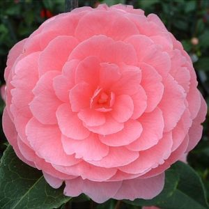 camellia williamsii eg waterhouse