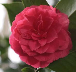 Camélia du Japon 'Emeric Halasz'