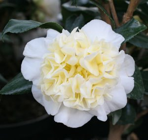 camellia williamsii jury's yellow