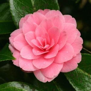 Camélia du Japon 'Mrs Tingley'