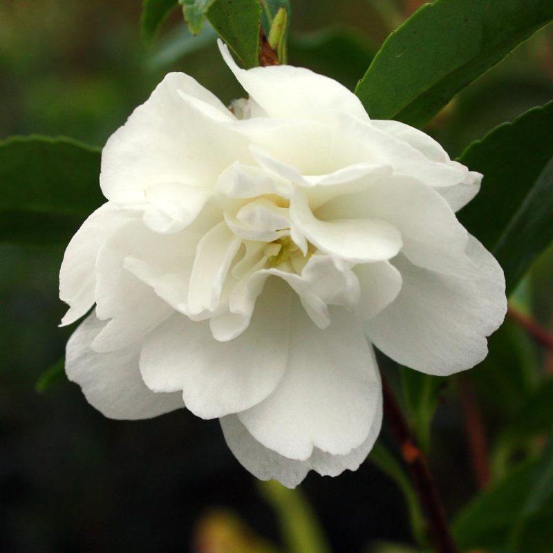 Camellia Sasanqua 'Paradise little liane'