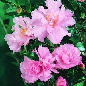camellia sasanqua paradise petite