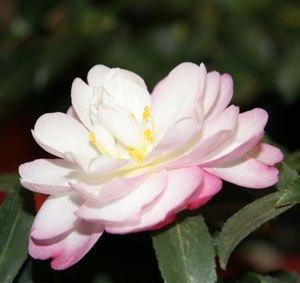 camellia sasanqua paradise sayaka