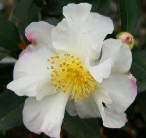 camellia sasanqua Paradise Venessa