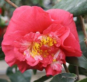 Camélia du Japon 'R.L Wheeler'