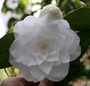camellia williamsii Sea Foam