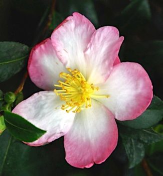 camellia sasanqua versicolor