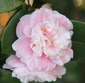 Camélia du Japon 'Duchesse Decazes'