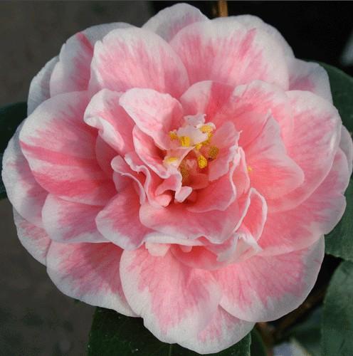 Camélia du Japon 'Hikarugenji'