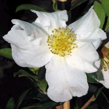 Camellia Sasanqua 'Paradise barbara'