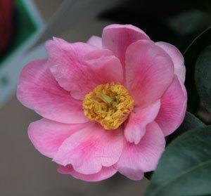 Camélia Hybride 'Paradise Illumination'