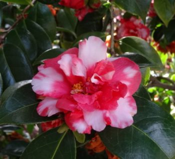 camellia kasugayama