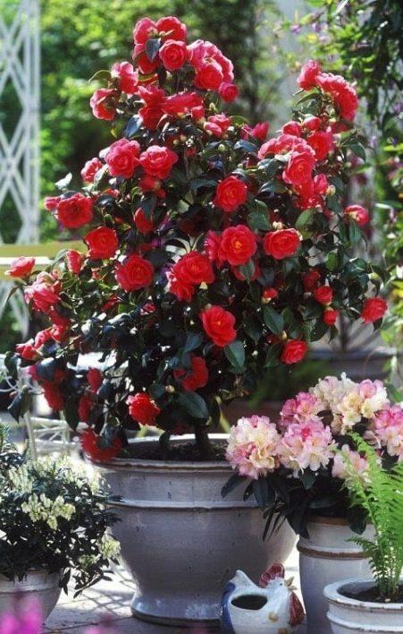camellia rouge en pot
