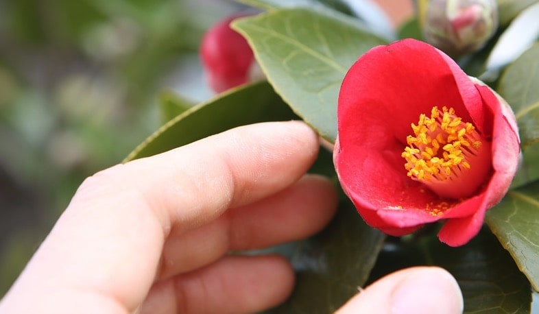 entrtient camellia en pot