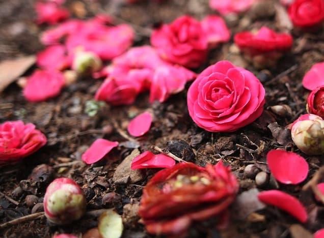 fleurs de camélia sur la terre