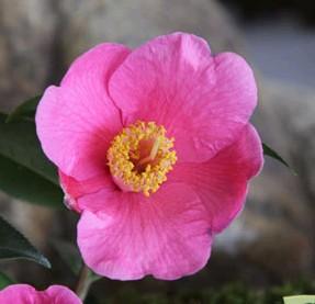 camellia koto no kaori