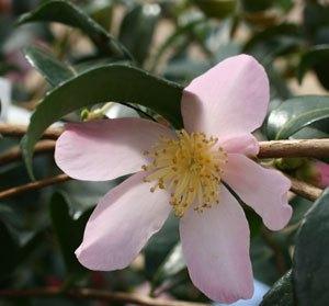camélia maiden's blush