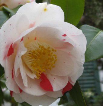 camellia blanc tacheté de rose