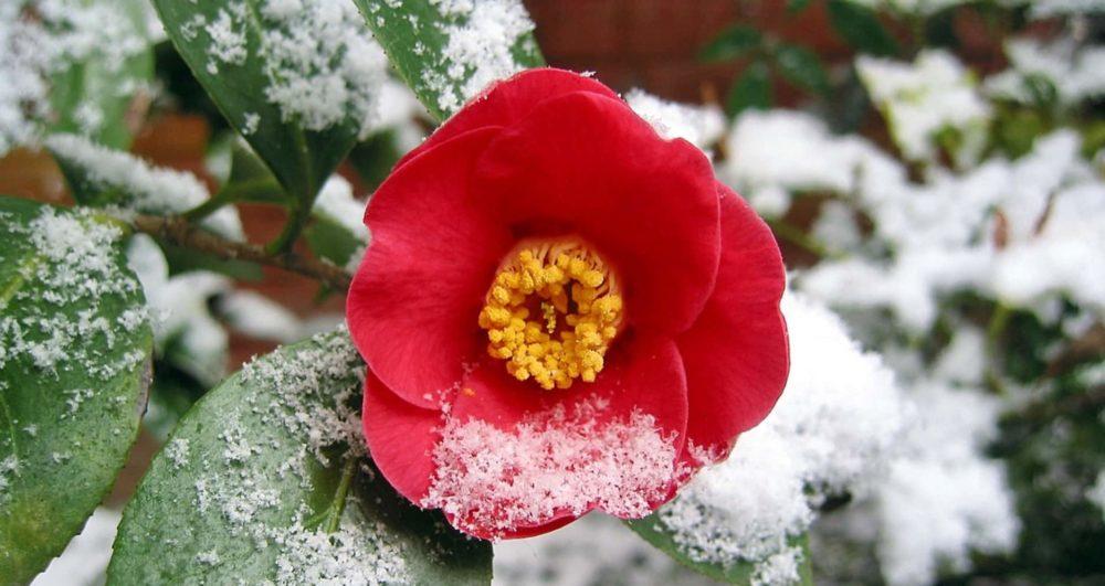 camélia floraison