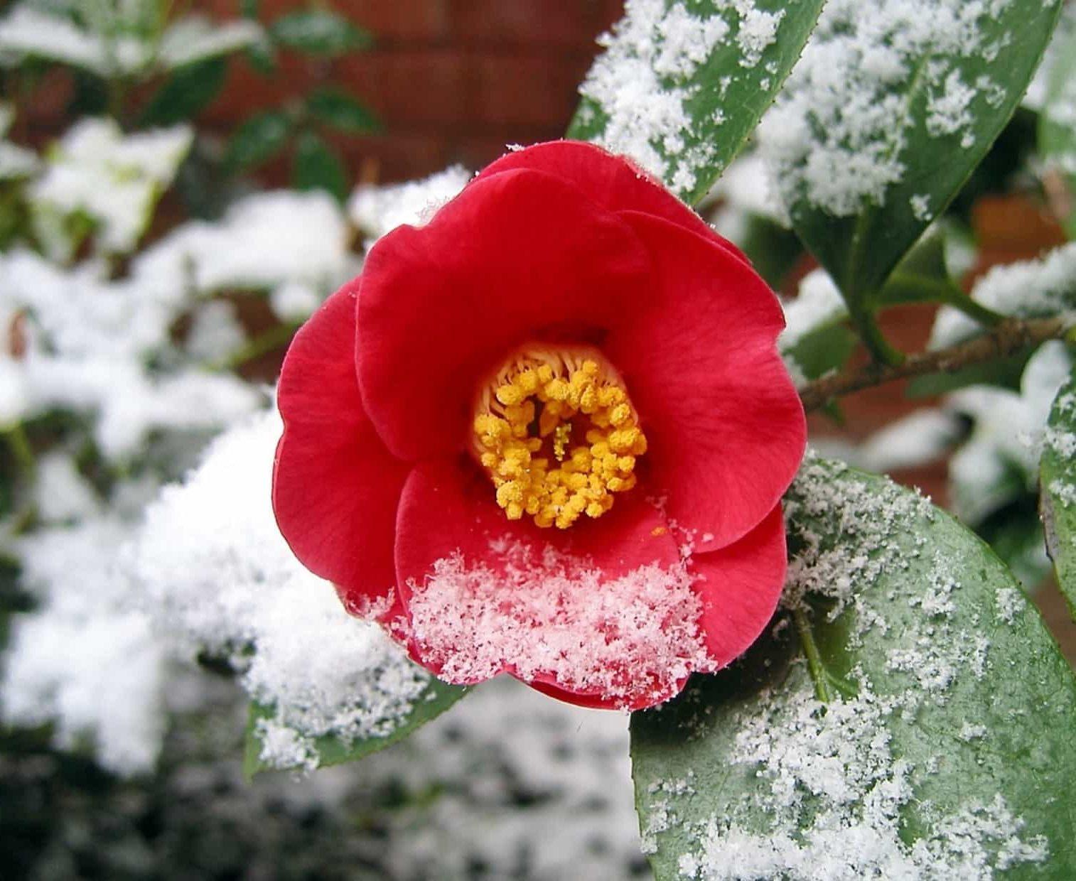 camélia hiver