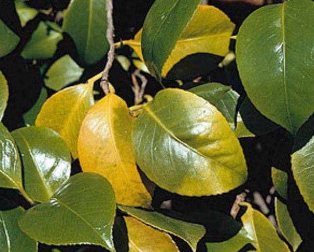 camélia avec des feuilles jaunes