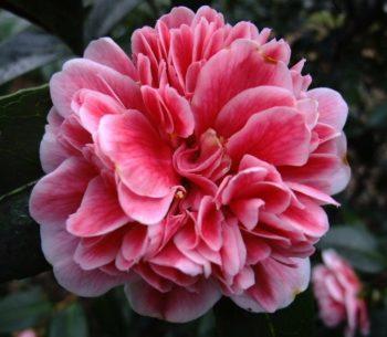 fleur de camelia peoniforme