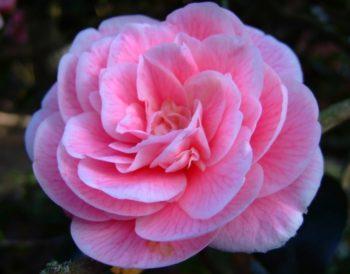 fleur rosiforme