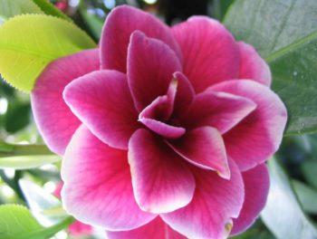 camellia rose bordé de blanc