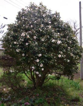 camélia buissonnant
