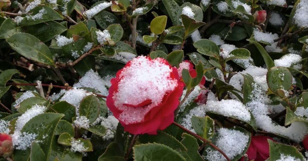 camélia avec de la neige