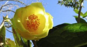 camellia Impressinervis