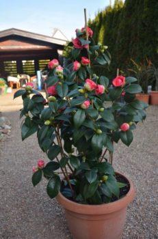 camellia japonica en pot