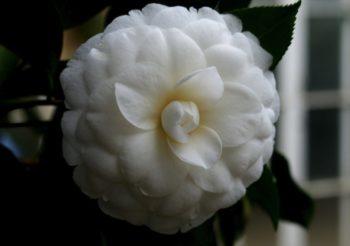 camellia japonica fleur blanche