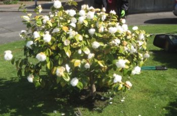 entretien camellia japonica blanc