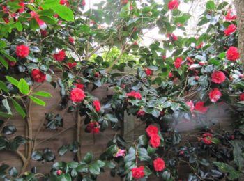 exposition camellia japonica