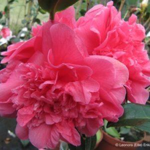 camellia anticipation