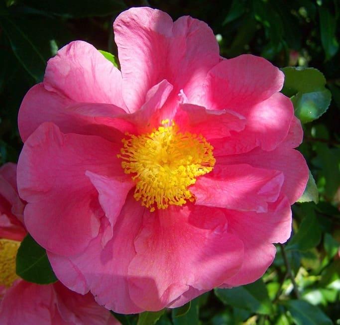 camellia sasanqua paradise belinda
