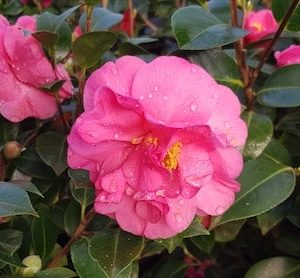 Camellia Williamsii Blue danube