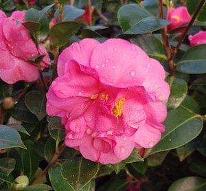 Camellia Williamsii Blue danube
