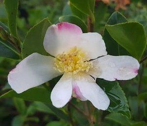 camellia sasanqua rainbow