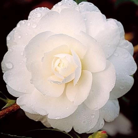 Camellia sasanqua Early Pearly